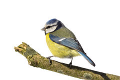 Blue tit looking left Royalty Free Stock Photography