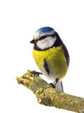 Blue tit looking left Royalty Free Stock Images
