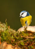 Blue tit, looking at a massy protrusion Stock Photo