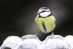 Blue Tit looking for water. Stock Photo