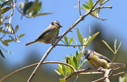 Blue tit male and female in an olive tree. Pair of male and female blue tits in an olive tree in Italy royalty free stock photo