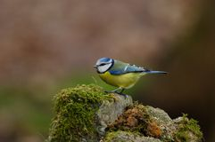 Blue tit. On a mossy stone Royalty Free Stock Photography