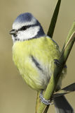 Blue tit on natural habitat / Cyanistes ceruleus Stock Photo