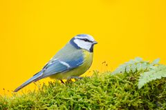 Blue tit in nature habitat, autumn. Blue Tit, cute blue and yellow songbird in autumn, nice green moss branch with fern, Germany,. Europe Royalty Free Stock Photos