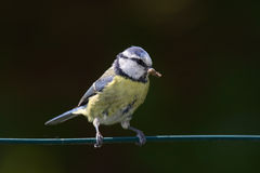 Blue tit. Nest in cavities chicks cue offspring parental care Royalty Free Stock Photography
