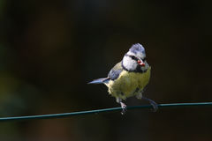Blue tit. Nest in cavities chicks cue offspring parental care Royalty Free Stock Image