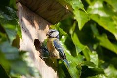 Blue tit  by a nesting box. Blue tit (Cyanistes caeruleus) by a nesting box Stock Photo