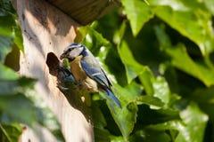 Blue tit  by a nesting box. Blue tit (Cyanistes caeruleus) by a nesting box Stock Photos