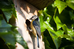 Blue tit  by a nesting box Royalty Free Stock Image