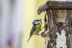 Blue Tit at a nesting box feeding its young with caterpillar. Eurasian Blue Tit at a nesting box feeding its young with caterpillar in a close up side view of Royalty Free Stock Images