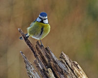 Blue tit on a old stump Royalty Free Stock Image