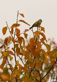 Blue Tit with orange leaves Stock Images