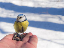 Blue tit on the palm Stock Photos
