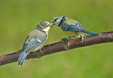 Blue Tit parent feeds her fladgling. Royalty Free Stock Photography