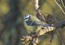 Blue Tit - Parus caeruleus Stock Image