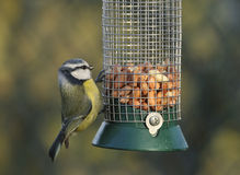 Blue Tit - Parus caeruleus Stock Photography