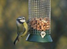Blue Tit - Parus caeruleus. On peanut feeder Stock Photography