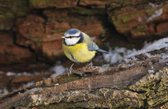 Blue Tit - Parus caeruleus Stock Images