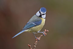 Blue tit, Parus caeruleus. On a branch. Shallow depth of field and bakground blurred Royalty Free Stock Photo