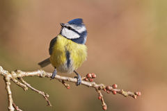 Blue tit, Parus caeruleus. On a branch. Shallow depth of field and bakground blurred Royalty Free Stock Images