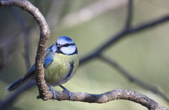 Blue Tit  (Parus caeruleus). Perched on a branch Royalty Free Stock Photos