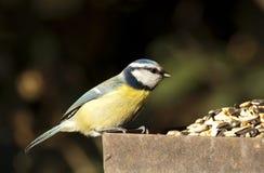 Blue Tit (Parus caeruleus) Stock Images