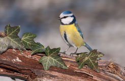 Blue tit (Parus caeruleus) stock photography