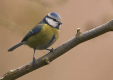 Blue tit (Parus caeruleus). Small bird sitting on branch Royalty Free Stock Images