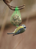 Blue Tit (Parus caeruleus). Feeding on a fat ball in winter Royalty Free Stock Photography