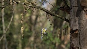 Blue Tit, parus caeruleus , Adult flying and  landing on Tree Trunk stock video