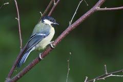 Blue Tit  (Parus caeruleus) Royalty Free Stock Photo