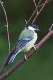 Blue Tit  (Parus caeruleus) Royalty Free Stock Photos