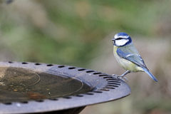 Blue tit, Parus caeruleus Stock Images