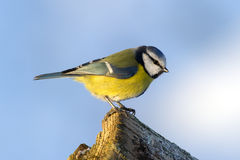 Blue Tit (Parus caeruleus) on the edge Stock Photo