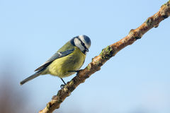Blue Tit - Parus caeruleus - Garden Birds Stock Images