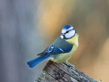 Blue Tit (Parus caeruleus) looking behind. The beautiful blue tit sitting on the edge of the old wooden fence looking behind against a defocused background stock photo