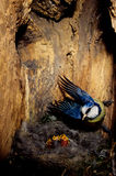 Blue Tit. Parus caeruleus nest cavity chicks cue birds offspring castelvetro Modena Emilia Romagna Royalty Free Stock Image