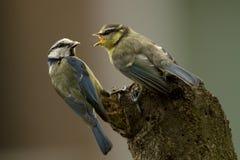 Blue tit (Parus caeruleus) Royalty Free Stock Images