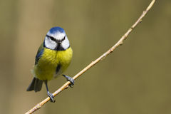 Blue Tit  (Parus caeruleus) Royalty Free Stock Photography