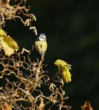 Blue Tit. A Blue Tit,Parus caeruleus,perched in a contorted Hazel in the winter sun royalty free stock photos
