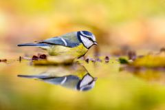 Blue tit autumn background royalty free stock image