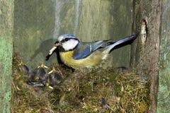 Blue tit, Parus caeruleus Royalty Free Stock Images