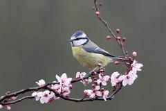 Blue tit, Parus caeruleus Stock Photography