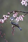Blue tit, Parus caeruleus. Single bird on blossom, Warwickshire, March 2012 Royalty Free Stock Image