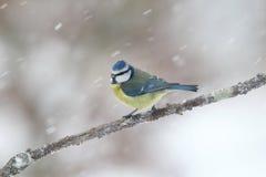 Blue tit, Parus caeruleus Royalty Free Stock Photography