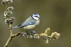 Blue tit, Parus caeruleus. Single bird on catkins Royalty Free Stock Photos