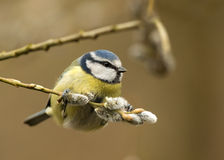 Blue tit, Parus caeruleus Stock Photos