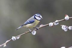 Blue tit, Parus caeruleus. Single bird on catkins, Warwickshire, March 2012 Royalty Free Stock Photos