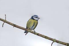 Blue tit, Parus caeruleus Royalty Free Stock Photo