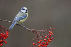 Blue tit, Parus caeruleus Stock Image